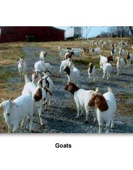 Business Agriculture 01 Goats
